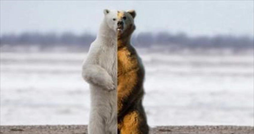 Πολικές και καφέ αρκούδες φτιάχνουν ανθεκτικό νέο είδος